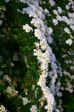 Spirea Royalty Free Stock Photo