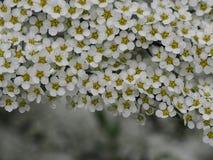 Spirea som är grå med vita blommor royaltyfri fotografi