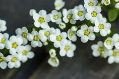 Spirea thumbergii spring flower Stock Photography