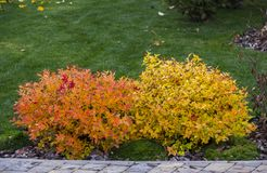 Spirea trimmed in the shape of a ball with yellow leaves in an autumn garden Royalty Free Stock Image