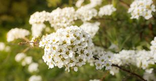 Spirea Vangutta, Spiraea vanhouttei Stock Photo