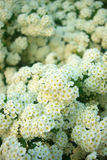 Spirea x vanhouttei. White blooming flowers decorative bush Royalty Free Stock Photography