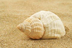 Spired conch shell on the sand Royalty Free Stock Photography