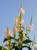 Physostegia - A tall pink upright plant against a natural pale bue sky. Spires of upright Physostegia Virginiana Rosea - Family Lamiaceae - in full bloom against royalty free stock images