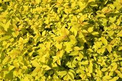 Spirey日语、等级& x22; 金黄princess& x22;绣线菊类的植物japonica L f 背景 库存图片