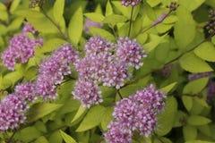 Spireya is Japanse, mooie bloeiende struik Stock Afbeelding