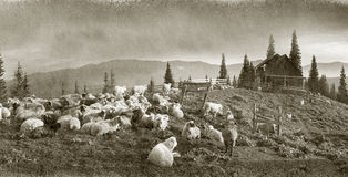 Spirit of antiquity in the mountains. Retro classic black and white tonality of silver photography both ancient and vintage prints subject to shepherd flock of stock images