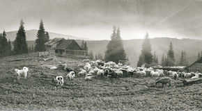 Spirit of antiquity in the mountains. Retro classic black and white tonality of silver photography both ancient and vintage prints subject to shepherd flock of royalty free stock images