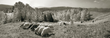 Spirit of antiquity in the mountains. Retro classic black and white tonality of silver photography both ancient and vintage prints subject to shepherd flock of stock photography