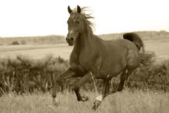 Spirit of Arabia. Arabian horse cantering royalty free stock photography