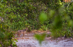 Spirit of the Forest: the Caracal Royalty Free Stock Photo