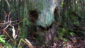 Spirit of the forest. magic tree/ Kind spirit of the wild forest Stock Image