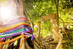 Spirit tree on Phi Phi island, Thailand royalty free stock images