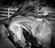 Spirited Horse Royalty Free Stock Images