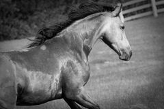 Spirited Horse in field. Horse running up hill in Minnesota field. A dunn and chestnut Missouri Fox Trotter galloping in white fence pasture. geldings. spirited Royalty Free Stock Photo