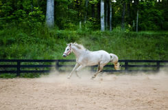 Spirited horse runs playfully Royalty Free Stock Images