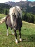 Spirited Playful Pony. Laces, 39021 Province of Bolzano - South Tyrol, Italy Royalty Free Stock Image