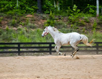 Spirited white race horse canters around practice ring Stock Photo