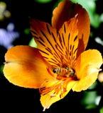Spirito 6 del fiore & dell'ape Fotografia Stock Libera da Diritti