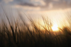 Spiritual sunset wheat field Royalty Free Stock Photography