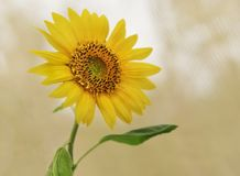 Spiritual yellow sunflower looking upwards. The very spiritual yellow sunflower looking upwards representing auspicious, good luck, long life,  bounty, harvest Stock Photo