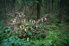 Spiritueux de Kodama dans la forêt photographie stock libre de droits