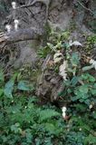 Spiritueux de Kodama dans la forêt photo libre de droits
