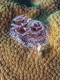 Spirobranchus giganteus,圣诞树蠕虫 免版税库存图片