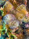 Spirobranchus giganteus,圣诞树蠕虫 免版税库存照片