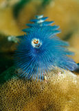 Spirobranchus giganteus, Christmas tree worm Stock Photos