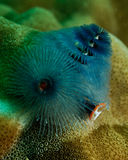 Spirobranchus giganteus, Christmas tree worm stock images