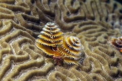 Spirobranchus giganteus, Christmas tree worms Stock Photography