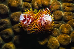 Spirobranchus giganteus, Christmas tree worms Royalty Free Stock Image