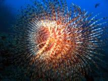spirographus θάλασσας στοκ εικόνες