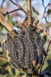 Spitfire Sawfly Larvae, Sunbury, Victoria, Australia, August 2018. Feasting on Eucalyptus Trees stock photography