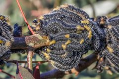 Spitfire Sawfly Larvae, Sunbury, Victoria, Australia, August 2018. Feasting on Eucalyptus Trees royalty free stock photo