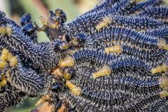 Spitfire Sawfly Larvae, Sunbury, Victoria, Australia, August 2018. Feasting on Eucalyptus Trees stock images