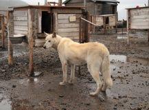 Spitsbergen: Alaskan Husky/Husky Farm Royalty Free Stock Photo