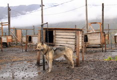 Spitsbergen: Europe's Northernmost Husky Farm/Husky. Alaskan Husky on a farm near Longyearbyen, Spitsbergen/Norway Royalty Free Stock Image