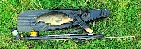 spitted Fisk och utrustning för spearfishing royaltyfria bilder