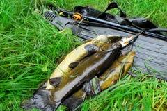 spitted Utrustning för spearfishing och fisk royaltyfria bilder