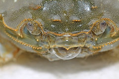 Spitting bubble of crab. Closeup of spitting bubble of crab Royalty Free Stock Photos