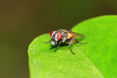 Spitting housefly Stock Photo
