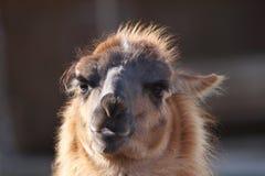 Spitting llama head. Spitting llama ( lama glama ) head, portrait over out of focus background Royalty Free Stock Photo