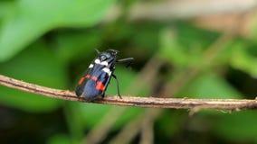 Spittle bug Callitetrix versicolor Fabricius on branch. stock video