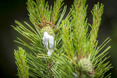 Spittlebugs on pinecones. Spittle bugs cover a pine cone in a white froth Royalty Free Stock Image