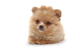 spitz κουταβιών σκυλιών Στοκ φωτογραφίες με δικαίωμα ελεύθερης χρήσης