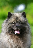 spitz λύκος Στοκ Εικόνα