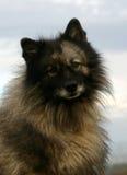 spitz λύκος Στοκ Εικόνες