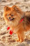 Spitz μένει στην άμμο με το κόκκινο τόξο και κοιτάζει στην κατεύθυνσή σας Στοκ εικόνες με δικαίωμα ελεύθερης χρήσης